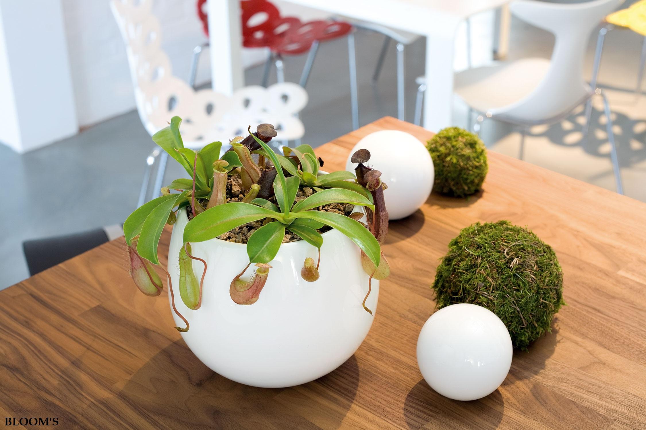 fleischfressende pflanzen als dekoidee f r den sommer. Black Bedroom Furniture Sets. Home Design Ideas